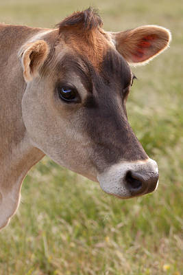 Jersey Cow Photograph - Jersey Cow Portrait by Michelle Wrighton