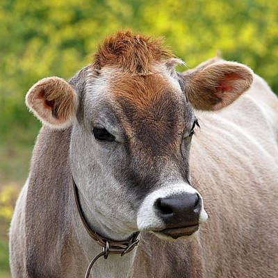 Jersey Cow With Attitude - Square Print by Gill Billington
