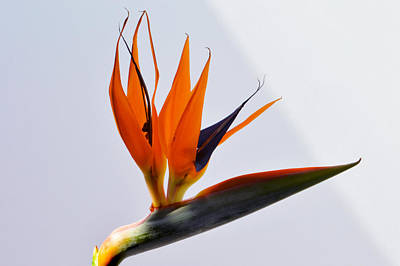 Jewel Of The Tropics. Original by Terence Davis