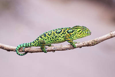 Madagascar Photograph - Jeweled Chameleon by Dr P. Marazzi