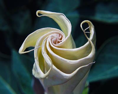 Jimsonweed Flower Spiral Print by Steven Schwartzman