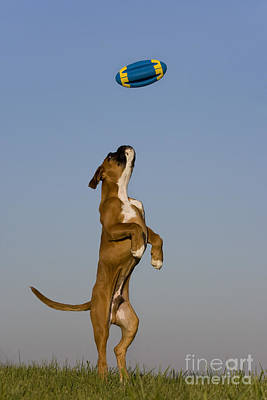 Jumping Boxer Puppy Print by Jean-Louis Klein and Marie-Luce Hubert