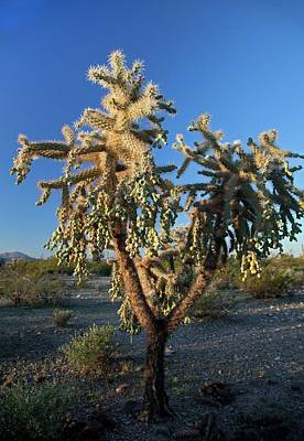 Cholla Photograph - Jumping Cholla Cactus by Jim West
