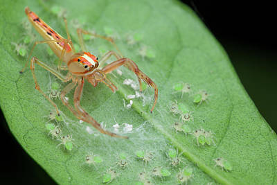 Arachnid Photograph - Jumping Spider And Babies by Melvyn Yeo