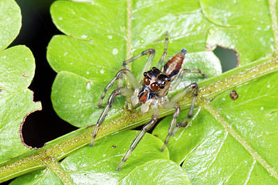Arachnid Photograph - Jumping Spider by Dr Morley Read