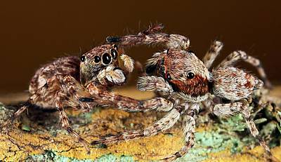 Spider Photograph - Jumping Spiders by Nicolas Reusens