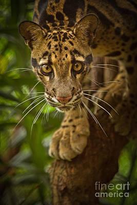 Clouded Leopard Photograph - Jungle Princess by Ashley Vincent