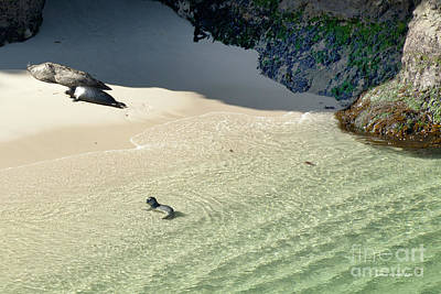 Just Born Baby Sea Lion Pup With Mom And Dad Napping On The Beach Print by Artist and Photographer Laura Wrede