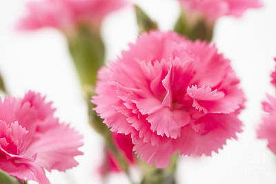 Just Carnations Print by Anne Gilbert