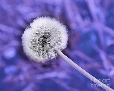 Dandelion Photograph - Just Dandy Lavender by Andee Design