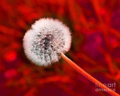 Dandelion Photograph - Just Dandy Red by Andee Design