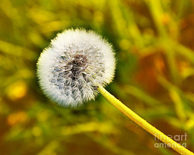 Dandelion Photograph - Just Dandy Yellow by Andee Design