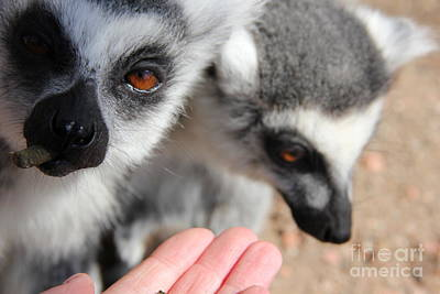 Ring-tail Lemur Photograph - Just Feed Me...  by Jackie Mestrom