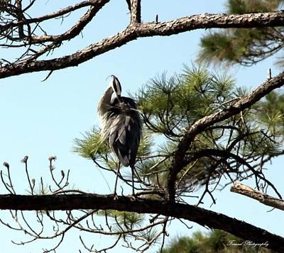 Blue Herron Photograph - Just Hanging Around  by Debra Forand