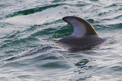 Marina Photograph - Just The Dorsal by Scott Campbell