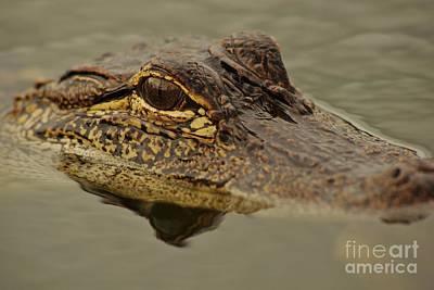 Juvenile Alligator Print by Lynda Dawson-Youngclaus