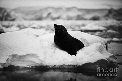 Fournier Photograph - juvenile fur seal floating on iceberg in Fournier Bay Antarctica by Joe Fox