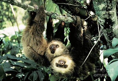 Juvenile Hoffmanns Two-toed Sloths Print by Gregory G. Dimijian, M.D.