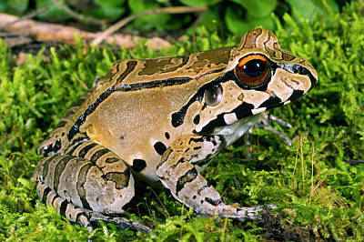 Bullfrogs Photograph - Juvenile Smoky Jungle Frog by Dr Morley Read