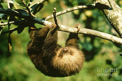 Juvenile Two-toed Sloth Print by Gregory G. Dimijian, M.D.