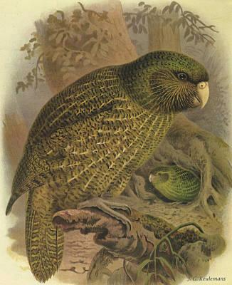 Kakapo Print by J G Keulemans