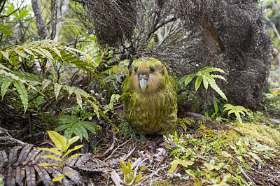 Kakapo Male In Forest Codfish Island Print by Tui De Roy