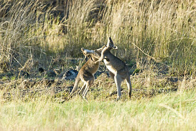 Kangaroo Photograph - Kangaroo Boxing by William H. Mullins
