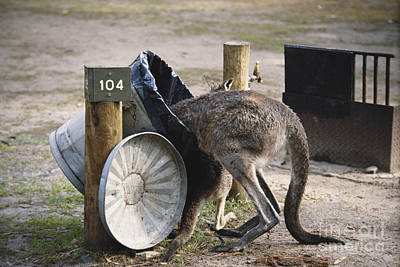 Kangaroo Photograph - Kangaroo In Garbage by Mark Newman
