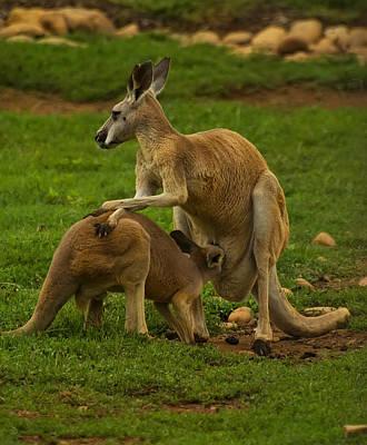 Kangaroo Digital Art - Kangaroo Nursing Its Joey by Chris Flees