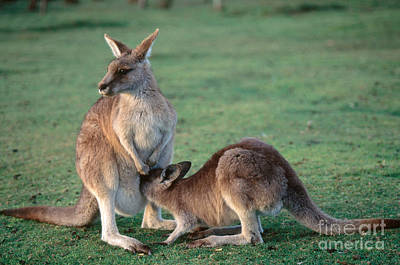 Kangaroo Photograph - Kangaroo With Joey by Gregory G. Dimijian, M.D.