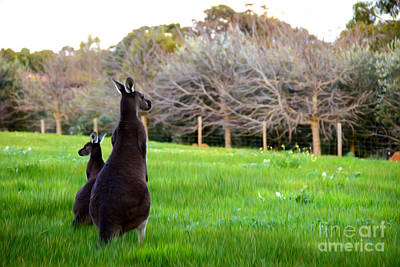 Kangaroo Digital Art - Kangaroos by Phill Petrovic
