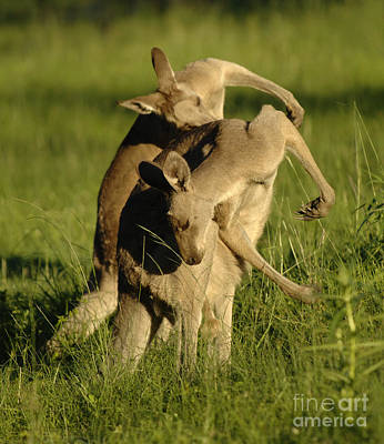 Kangaroo Photograph - Kangaroos Taking A Bow by Bob Christopher