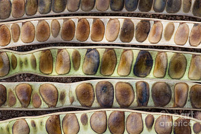 Kassod Tree Seed Pods Pattern Print by Tim Gainey