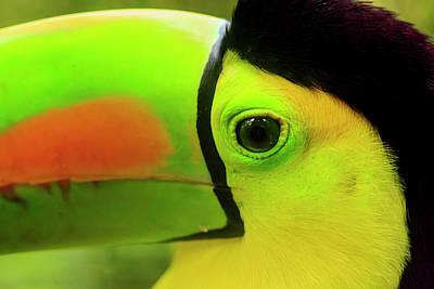 Belize Photograph - Keel-billed Toucan (ramphastos by Stuart Westmorland