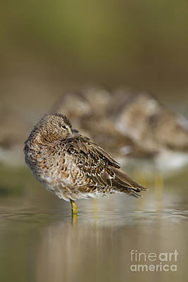 Dowitcher Photograph - Keeping A Eye Out On You by Bryan Keil