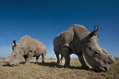 Simple Beauty In Colors Photograph - Kenya, Great Northern White Rhinos by Ian Cumming