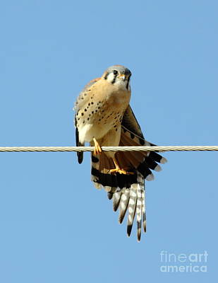 Kestrel On The Tightwire Print by Robert Frederick
