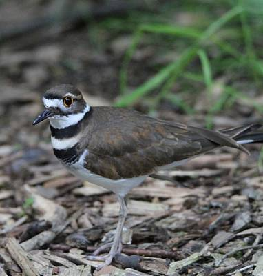 Killdeer Photograph - Killdeer by Dan Sproul