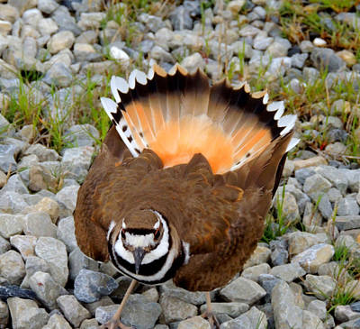Killdeer Dance 1 Original by Stephanie Kendall