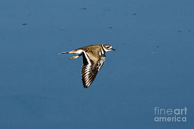 Killdeer Photograph - Killdeer In Flight by Anthony Mercieca