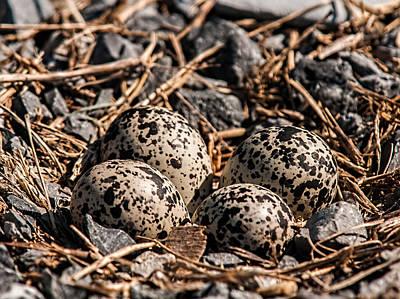 Killdeer Photograph - Killdeer Nest by Lara Ellis