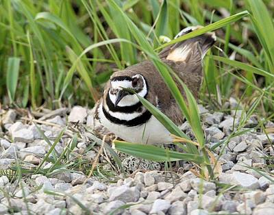 Killdeer On Nest Original by John Dart