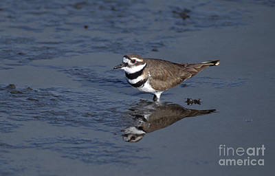 Killdeer Photograph - Killdeer Plover Charadrius Vociferus by Ron Sanford