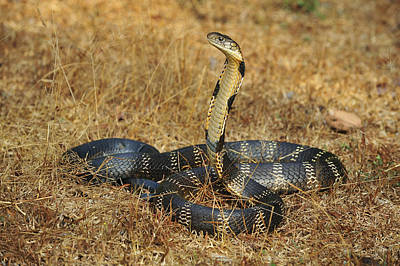Photograph - King Cobra Agumbe Rainforest India by Thomas Marent