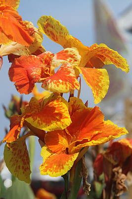 Bloom Photograph - King Humbert Canna Lilies  by Cathy Lindsey