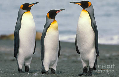 Penguin Photograph - King Penguin by Art Wolfe