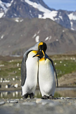 Penguin Photograph - King Penguins Courting St Andrews Bay by Konrad Wothe