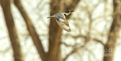 Kingfisher In Flight Print by Robert Frederick