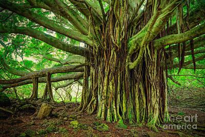 Kipahulu Banyan Tree Print by Inge Johnsson