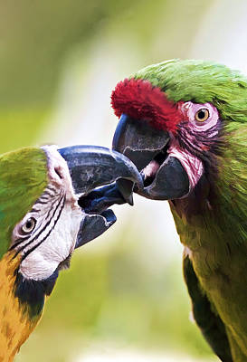 Color Photograph - Kissing Macaws by Marcia Colelli